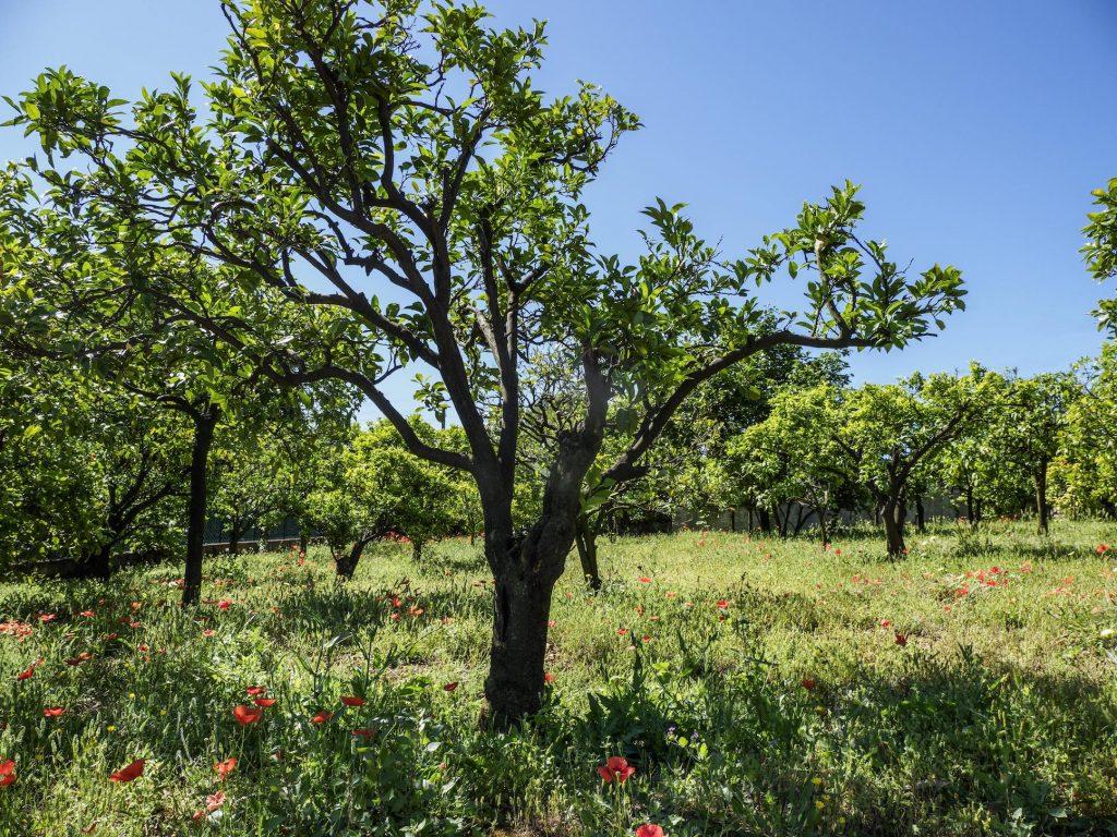 <p><strong>Le bigaradier</strong>, l'arbre précieux</p>